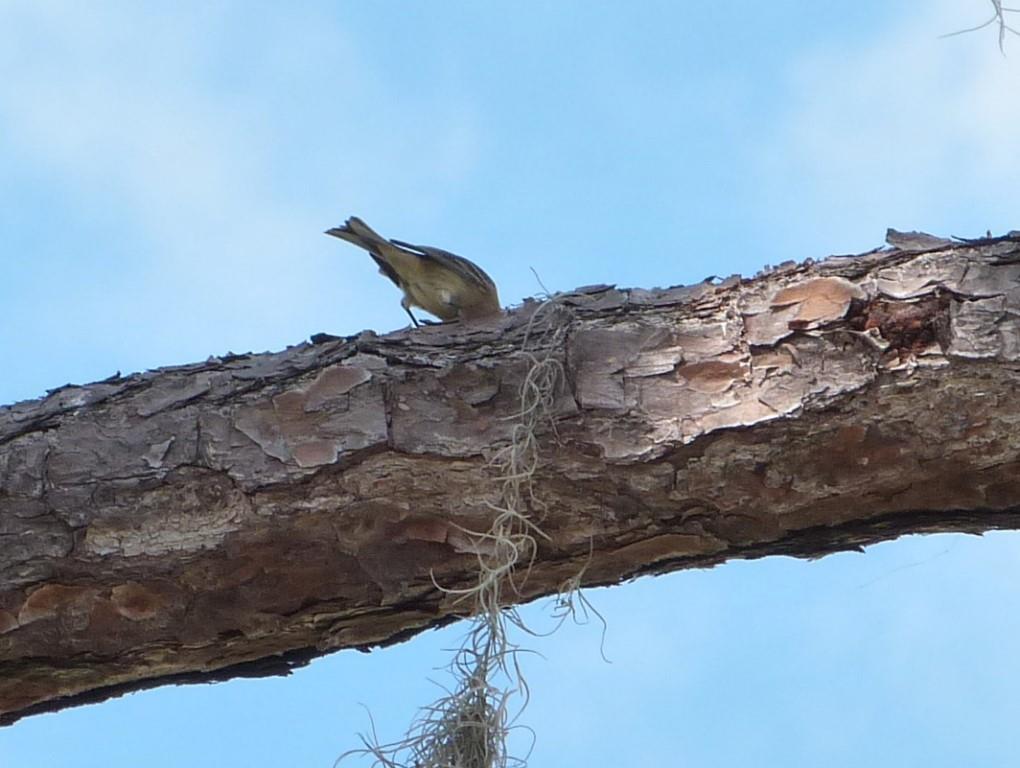 Pine Warbler (Setophaga pinus) or Palm Lake June-in-Winter SP