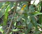 Yellow-throated Warbler (Setophaga dominica