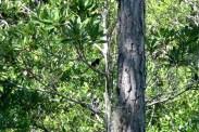 Eastern Towhee (Pipilo erythrophthalmus Highlands Hammock SP by Lee