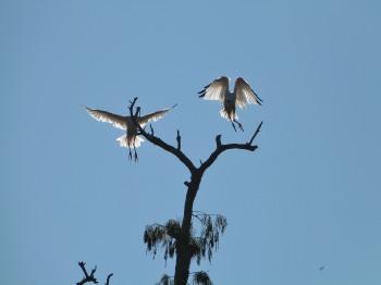American White Ibis (Eudocimus albus) by Lee at Circle B