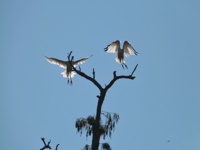 American White Ibis (Eudocimus albus) by Lee at Circle B