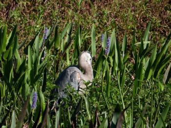 Great Blue Heron (Ardea herodias) Sleeping by Lee at Circle B