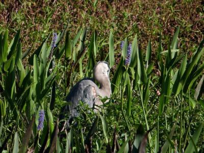 Great Blue Heron (Ardea herodias) Sleeping at Circle B by Lee