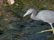 Little Blue Heron (Egretta caerulea) by Lee at Circle B