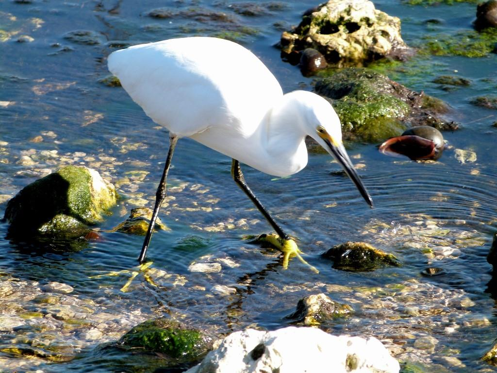 Snowy Egret (Egretta thula) Notice Yellow Feet by Lee at Circle B