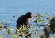 Common Gallinule (Gallinula galeata) by Lee at Circle B