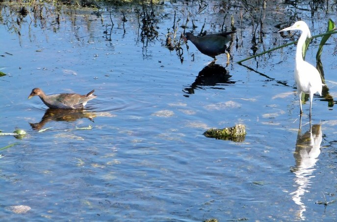 Purple Gallinule (Porphyrio martinica) and Snowy Egret (Egretta thula) cropped by Lee at Circle B
