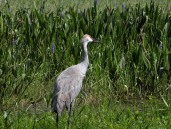 Sandhill Crane (Grus canadensis) Lake June-in-Winter SPk