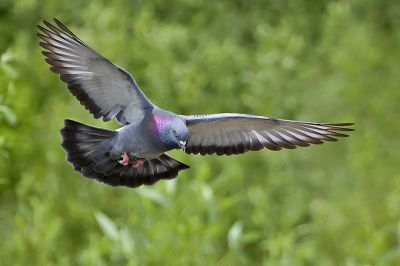 Rock Dove (Columba livia) ©WikiC