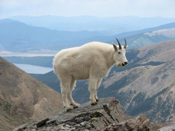 Mountain Goat at Mount Massive ©WikiC