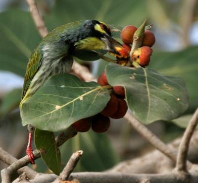 Coppersmith Barbet (Megalaima haemacephala) ©WikiC Feeding