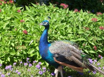 Indian Peafowl (Pavo cristatus) at Cincinnati Zoo by Lee