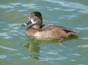 Ring-necked Duck (Aythya collaris) at Lake Morton by Lee
