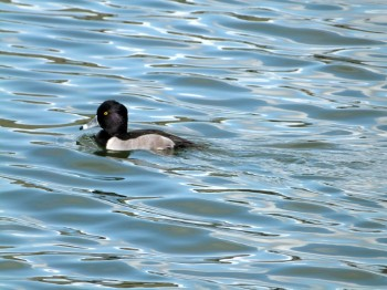Ring-necked Duck (Aythya collaris) Male at Lake Morton by Lee