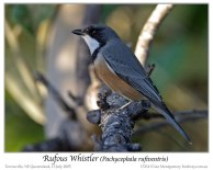 Rufous Whistler (Pachycephala rufiventris) by Ian