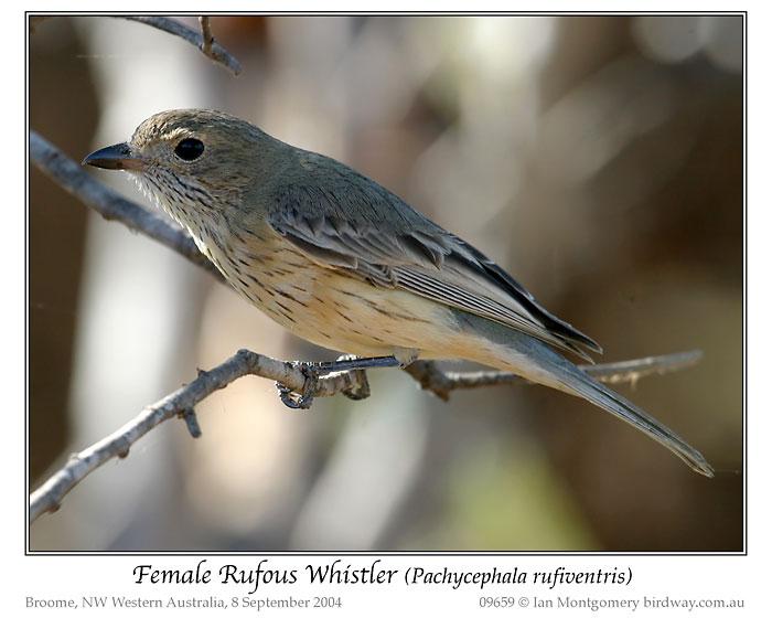 Rufous Whistler (Pachycephala rufiventris) Female by Ian