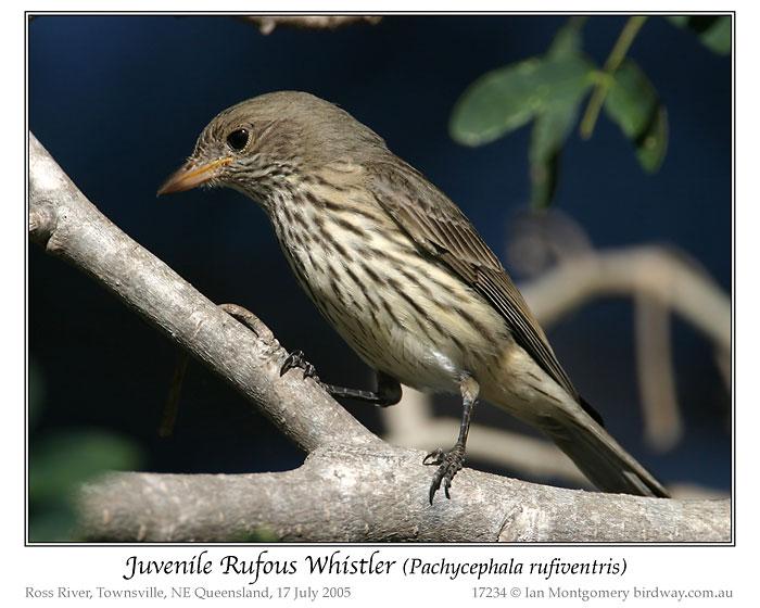 Rufous Whistler (Pachycephala rufiventris) Juvenile by Ian