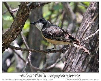 Rufous Whistler (Pachycephala rufiventris pallida) by Ian