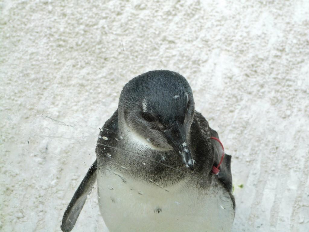 African Penguin (Spheniscus demersus) by Lee LPZ