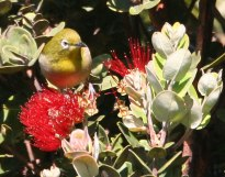 Japanese White-eye (Zosterops japonicus) by Margaret Sloan