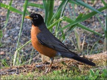 American Robin (Turdus migratorius) by Ian