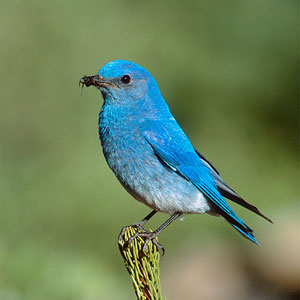 Mountain Bluebird (Sialia currucoides) for ajmithra's article