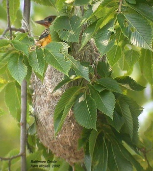Baltimore Oriole (Icterus galbula) on nest by Kent Nickell