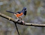 Eastern Towhee (Pipilo erythrophthalmus) by Ray