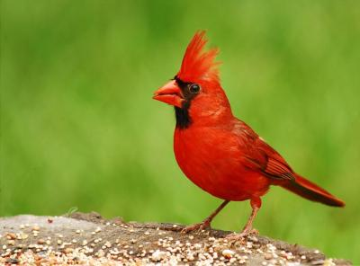 Northern Cardinal (Cardinalis cardinalis) - ©WikiC