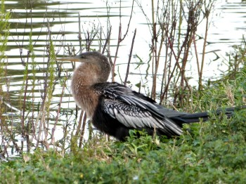 Anhinga (Anhinga anhinga) at Lake Morton by Lee