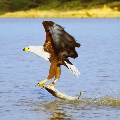 African Fish Eagle (Haliaeetus vocifer) ©WikiC