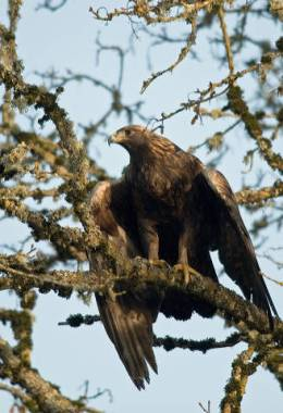 Golden Eagle ~ Bird-Brain Might Be a Compliment!