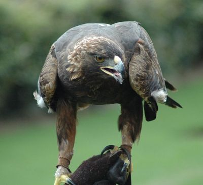 Golden Eagle (Aquila chrysaetos) ©WikiC