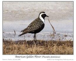 Pacific Golden Plover'sTeamwork