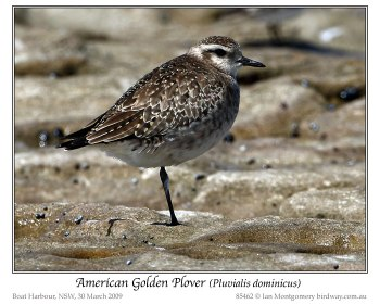 American Golden Plover (Pluvialis dominica) by Ian 2