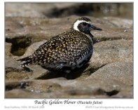 Pacific Golden Plover (Pluvialis fulva) by Ian 3