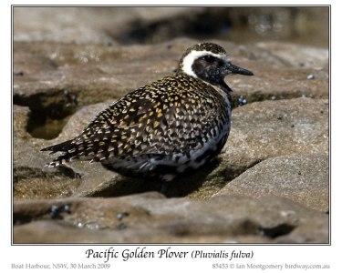 Pacific Golden Plover (Pluvialis fulva) by Ian