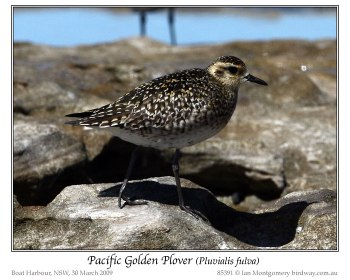 Pacific Golden Plover (Pluvialis fulva) by Ian 4