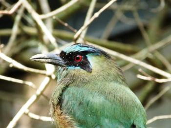 Blue-crowned Motmot at Lowry Park Zoo by Lee 2013