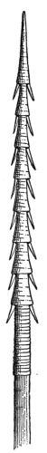 Solomon Islander's Spear