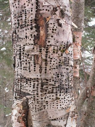 Yellow-bellied Sapsucker (Sphyrapicus varius) Holes in a dying Birch ©WikiC