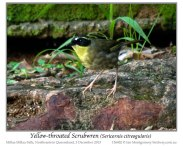 Yellow-throated Scrubwren (Neosericornis citreogularis) by Ian