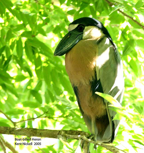 Boat-billed Heron (Cochlearius cochlearius) ©