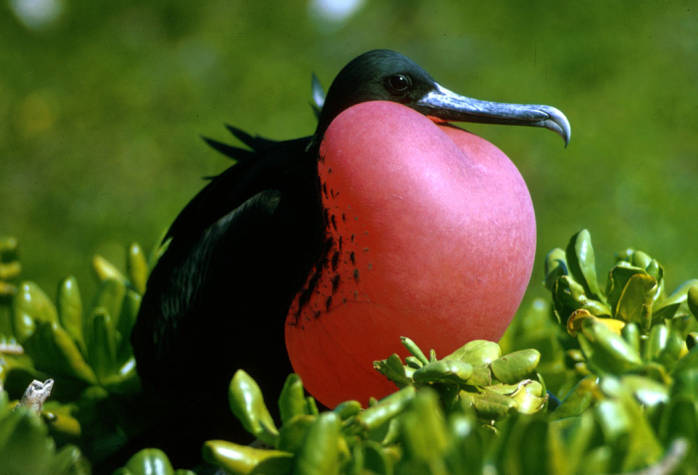 Magnificent Frigatebird (Fregata magnificens) ©USFWS