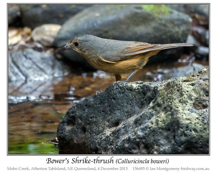 Bower's Shrikethrush (Colluricincla boweri) by Ian 1