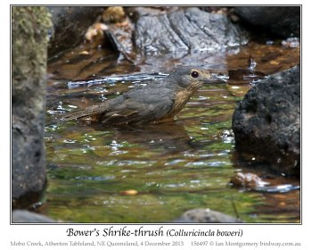 Bower's Shrikethrush (Colluricincla boweri) by Ian 2