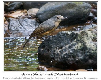 Bower's Shrikethrush (Colluricincla boweri) by Ian 3