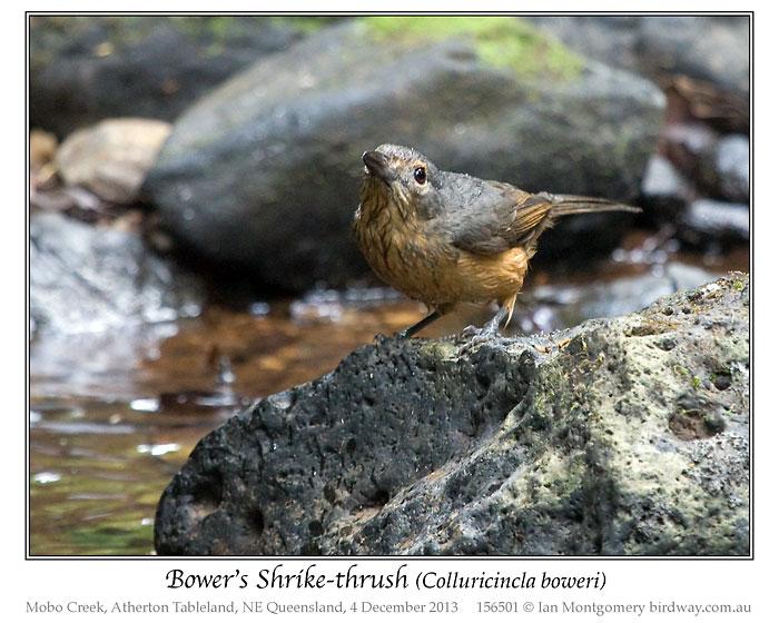 Bower's Shrikethrush (Colluricincla boweri) by Ian 4