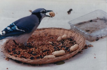 Blue Jay (Cyanocitta cristata) Collecting for Cache