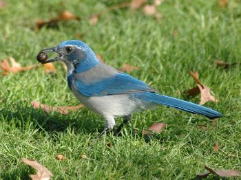 Western Scrub Jay (Aphelocoma californica) Holding an Acorn ©WikiC